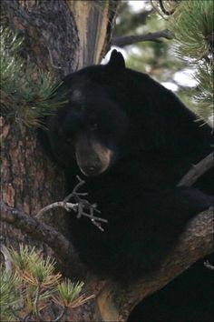 A Bear ~ Photographed in The Rocky Mountain National Park.