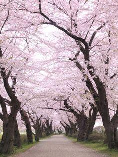 お花見シーズンの日本