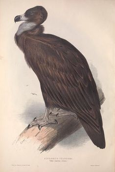 Cinereus vulture. The birds of Europe v.1 London,Printed by R. and J.E. Taylor, pub. by the author,1837. Biodiversitylibrary. Biodivlibrary. BHL. Biodiversity Heritage Library