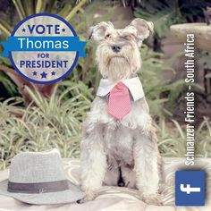 Thomas is standing for Schpresident. Please vote. Thomas says he will make all healthy dog food and treats free, open more dog parks and give all schnauzer parents Wednesday's to Sunday's off work (with full pay) so that they can be home with their schnauzers!