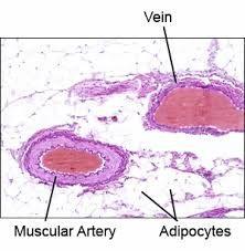Histology - Vascular