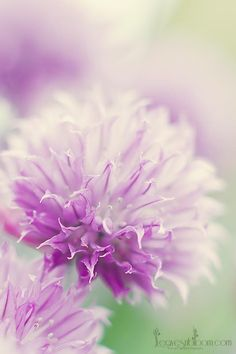 A chive flower macro from Perthshire photographer Rosie Nixon's own wildlife and nature garden in Scotland.  www.leavesnbloom.com