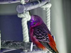 Budgie Parakeet, Budgies, Parrots, Rare Birds, Birds 2, Pretty Birds, Beautiful Birds, Animals And Pets, Cute Animals