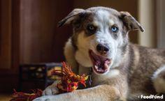 Complete Guide to Australian Shepherd Husky Mix Breed Dog Husky Australian Shepherd Mix, Aussie Shepherd, Shepherd Puppies, Blue Merle, Collie, Aussie Dogs, Herding Dogs, Husky Mix, Dog Activities