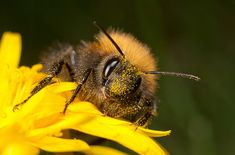 Dobráci čmeláci na zahradě: vysaďte jim květiny, postavte úlek - Okrasná zahrada