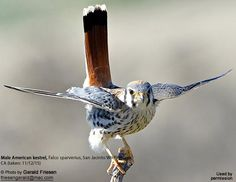 American Kestrel (Falco sparverius) by Gerald Friesen | Beauty Of Birds
