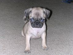 Young Pug! #Pug #Dog #Young #Puppy #Cute
