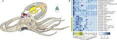 The octopus genome and the evolution of cephalopod neural and morphological novelties : Nature : Nature Publishing Group