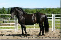 Canadian Horse - stallion Dandy est à Vendre