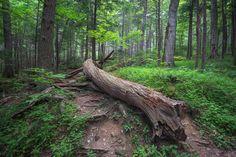 Rainbow Falls Trail, Great Smoky Mountains National Park near Gatlinburg, Tennesse Rainbow Falls Trail, Great Smoky Mountains, National Parks, Trees, Explore, Nature, Plants, Pictures, Photos