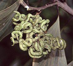Acacia mangium tanglebeans | Native to Australia and Indonesia