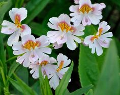Schizanthus, Angel Wings Schizanthus Mix Seeds | Lovely Flowers Great for Cutting Beautiful Colors