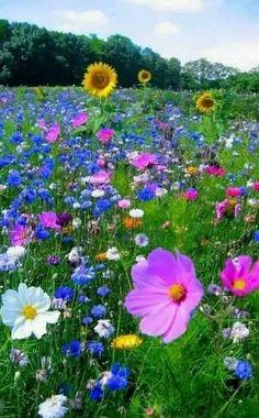 Sunflowers and wild roses. Sunflowers and wild roses. Flowers Nature, Wild Flowers, Beautiful Flowers, Bouquet Flowers, Art Flowers, Beautiful Scenery, Meadow Garden, Dream Garden, Wild Flower Meadow