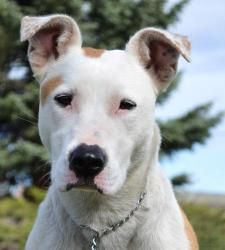 Scooter (Courtesy) is an adoptable Bull Terrier Dog in Sherwood, OR. Scooter is a true rags to riches story, but is still looking for her forever family. Abandoned at a young age, and left unsocialize...