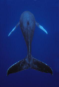 earthlycreatures: Humpback Whale Singing Kona Coast Hawaii by Flip Nicklin