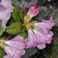 Rhododendron moupinense in bloom