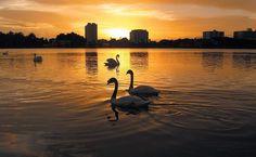 Cisnes no lago em Lakeland, Flórida