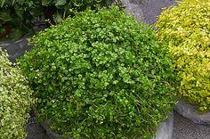 Soleirolia soleirolii - Lágrimas-de-bebê, Barba-de-moisés, Planta-da-sorte - herbácea, perenifólia, ramificada e rasteira. Cresce de forma horizontal, ao invés de vertical, cobrindo o solo com um denso tapete verde. Suas folhas são minúsculas.O uso mais comum é em vasos, adornando interiores. É bastante utilizada como forração, em locais sombreados, não resiste ao pisoteio.