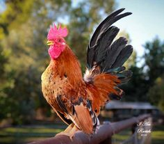 This Polish hen, with her Phyllis Diller crest feathers, is a popular breed among urban chicken keepers. Description from pinterest.com. I searched for this on bing.com/images