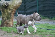 Blue pit bull...i will own one in my lifetime!