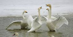 Kuvahaun tulos haulle whooper Swan, Bird, Animals, Animales, Swans, Animaux, Animais, Birds, Animal