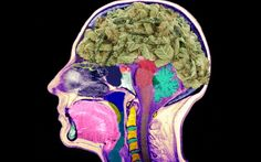 No, Weed Won't Rot Your Brain - The Daily Beast - Rapid-fire debunking of latest marijuana scare reports ...
