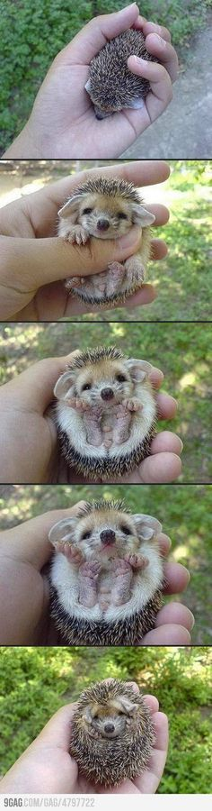 "How Cute: Baby Hedgehog in ""Defend"" Mode."