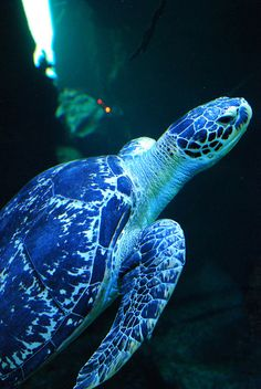 Sea Turtle by Brasilian cat Beautiful Creatures, Animals Beautiful, Cute Animals, Sea World, Land Turtles, Sea Turtles, Under The Ocean, Turtle Love, Deep Blue Sea