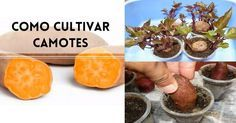 Cómo cultivar camotes o papas dulces en tu jardín paso a paso