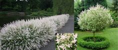 Tri Color/Dappled/Variegated Willow (Salix Integra Hakuro-Nishiki) - Zone 5-9 Full-Part Sun 8'-10' Height/Width.  Deciduous shrub with dense upright branches that mature to a rounded/weeping form (also avail grafted into tree form) with leaves that are mottled in shades of white, pink, and green, maturing to green & cream. Stems turn a striking red in winter. Adaptable to all soils-prefers moist, fertile, well drained. Drought & Salt tolerant. For hedge-plant 6' apart.Propagate from…