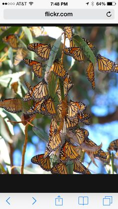 Pismo monarch butterflies