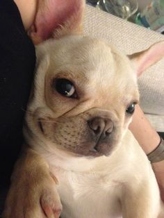 Eloise is a sassy French Bulldog that likes to pose for the camera.