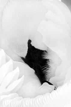 Gorgeous Swan