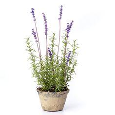 Sage & Co. Lavender Plant in Terracotta Pot & Reviews   Wayfair