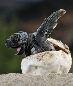 A baby turtle hatching from its egg