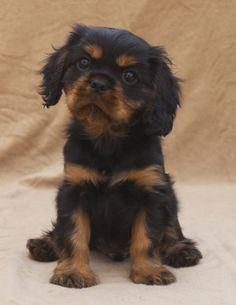 Black and Tan Cavalier King Charles Spaniel Puppy