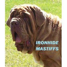 Ironhide Mastiffs, Neapolitan Mastiff Breeder in Evansville ...