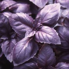 This #basil, red rubin basil to be exact, is great for garnishes.
