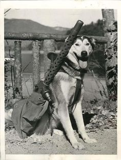 """A sled dog named """"Mukluk"""" is being trained to carry a M1919 machine gun for the United States Army, Alaska, 1942."""