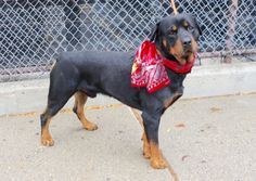 SAFE ❤️❤️❤️❤️❤️ 9-18-15 Manhattan Center   My name is BONGO. My Animal ID # is A1050777. I am a male black and brown rottweiler mix. The shelter thinks I am about 2 YEARS  I came in the shelter as a STRAY on 09/08/2015 from NY 11691, owner surrender reason stated was STRAY.