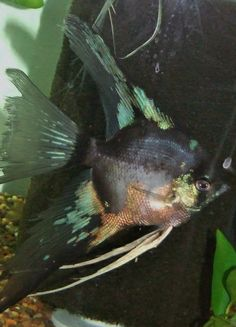 455 Best Water That Is Fresh Images Freshwater Aquarium Fish