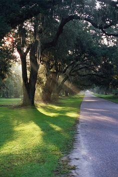 Southern Live Oaks.....