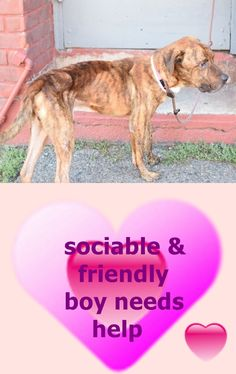 Brooklyn Center SEYMOUR – A1090338 MALE, BR BRINDLE, AM PIT BULL TER MIX, 4 yrs STRAY – STRAY WAIT, NO HOLD Reason STRAY Intake condition UNSPECIFIE Intake Date 09/18/2016 http://nycdogs.urgentpodr.org/seymour-a1090338/