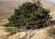 En España tenemos varias decenas de árboles milenarios, algunos vivieron en época romana y son testigos de las muchas vicisitudes de nuestra historia.
