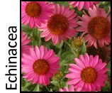 Terra Nova Nurseries - Professional Growers - Echinacea I'd like to have individual pins of all the different coneflowers I like but no time right now. TN has a great selection of new Ech, rudbeckia coreopsis, heuchera, others I like to collect. Must come back for more pinning!