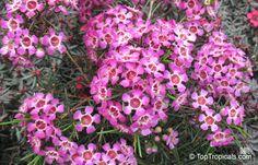 Flowering Shrubs, Garden, Plants, Flowering Bushes, Garten, Lawn And Garden, Gardens, Plant, Gardening