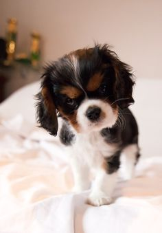 Everything we admire about the Cavalier King Charles Spaniel Pups Alles, was wir an den Cavalier King Charles Spaniel Pups bewundern Cavalier King Charles Dog, King Charles Spaniel, King Spaniel, Cute Dogs Breeds, Cute Dogs And Puppies, Puppy Breeds, Spaniel Puppies, Cute Baby Animals, Dog Pictures
