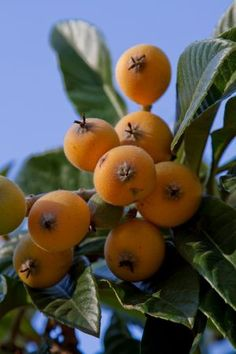 Loquat: the tree is fast growing and drought tolerant, with dense foliage that  can be pruned or espaliered to create a green wall. So useful is the loquat as an evergreen  ornamental that many people don't realize the clusters of fruit are actually edible.