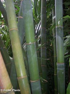Dendrocalamus giganteus bambou géant graines