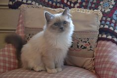 Wilma (Sacred Birman Kitten, blue point)